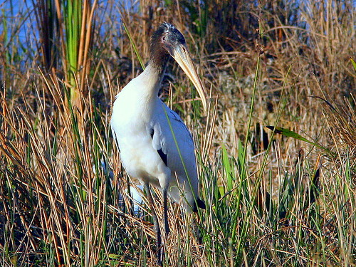 Immature Wood Stork 20090321