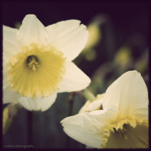 noisy daffodils
