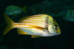 ocean fish water yellow swim aquarium marine stripes striped fins saltwater