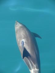 Bottle-nosed Dolphin Baja Cape (Tim Melling) Tags: dolphins cape baja remora bottlenosed timmelling