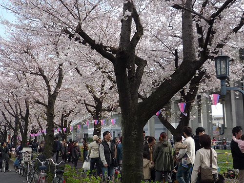 武蔵浦和の桜