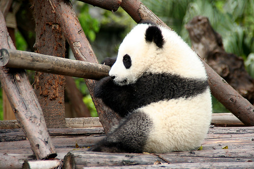 Giant Panda Cub, Chengdu, Sichuan april 2009 350D 2129