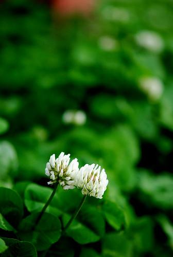 阿里山的野白菊