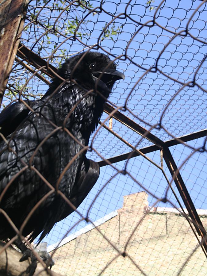 Raven in Kiev