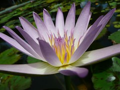 Lucky Valley #21 - Water Lily 1 (ighosts) Tags: waterlily malaysia pahang energyballs luckyvalley