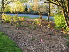 Pink flags marked new plantings in Lewis Park a few weeks ago. Photo by Wendi.