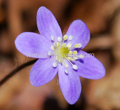 Hepatica 4 (Lynn photographing the world) Tags: flower minnesota wildflower hepatica minnesotalandscapearboretum