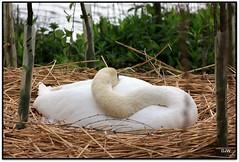 Swan on the Nest (Donna JW) Tags: swan nest picnik waterbirds nesting muteswan pregamesweepwinner