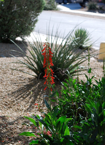 Arizona Plant Life/Humming Bird