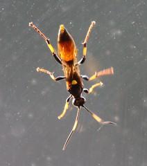 Ichneumon Wasp?