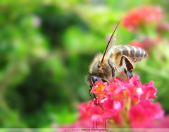 Honey Bee (Syed Xain) Tags: pakistan flower macro nature dof outdoor lawn bugs bee honey islamabad ppa nector canons5is