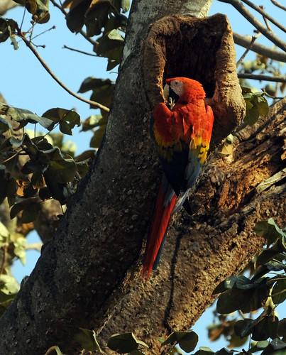 scarlet macaw1