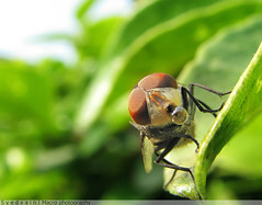 Bablu :p (Syed Xain) Tags: pakistan macro green eye nature dedication fly leaf dof bokeh lawn bubble lenses islamabad ppa inspiredbylove xain canonsis ahqmacro vosplusbellesphotos