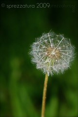 Wishing... (Sprezzatura Images) Tags: green weeds weed dandelion seeds simplicity wishes wish delicate makeawish seedbearingparachutes