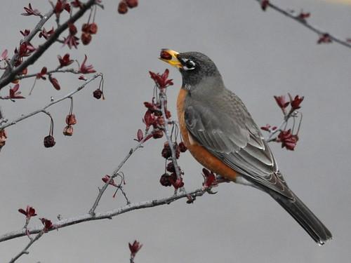 American Robin I