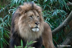 Luke (Leffson Photography) Tags: nature zoo washingtondc wildlife luke lion exoticcats bigcats fonz endangeredspecies canon70200mmf28l allrightsreserved thenationalzoo canonxti endangeredcats flickrbigcats marleneleffson leffsonphotography lukeatnationalzoo marleneleffson fonz2011 allrightsreservedmarleneleffson causeanuproar