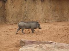 Cerdo Africano