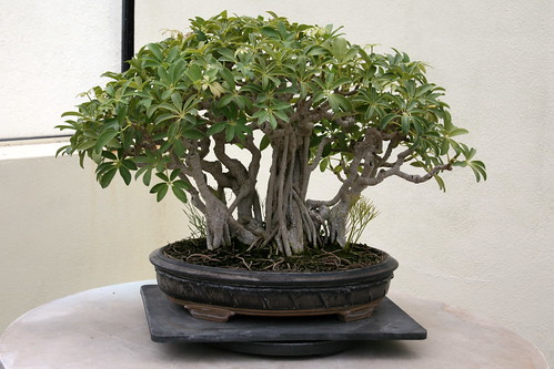Hawaiian Umbrella Tree Live Plant Bonsai Starter Ebay
