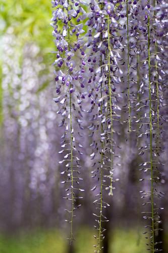 wisteria**