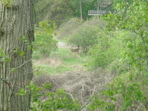 Deer Near the River
