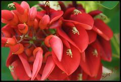 ~bursting in red!~ (itsjustme1340-Ress) Tags: red macro ress parrotsbeak favoritegarden brillent vibrentpetals