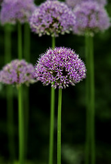 purple alliums standing tall (alan shapiro photography) Tags: flowers purple blossoms tall fabulous pompoms slender towering agapanthas wonderfulworldofflowers awesomeblossoms ashapiro515 2010alanshapiro alanshapirophotography wwwalanwshapiroblogspotcom 2010alanshapirophotography