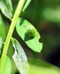 Three-cornered Alfalfa Hopper (jwinfred) Tags: plants macro nature mississippi nikon insects delta cypress 90mm preserve greenville d300 tamrom