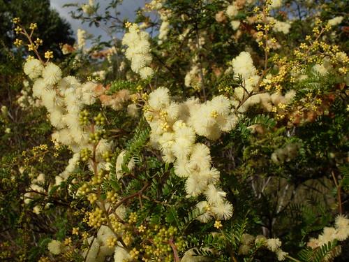 Acacia botrycephala image