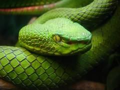 [フリー画像] [動物写真] [は虫類] [蛇/ヘビ] [緑色/グリーン]       [フリー素材]