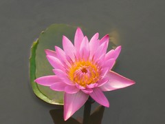 Waterlily: Pink