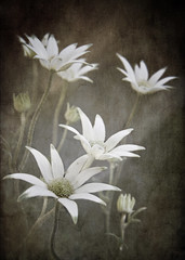 Flannel Flowers (by aussiegall)