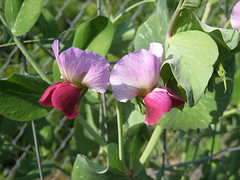 Flowers of dwarf grey sugar pod peas