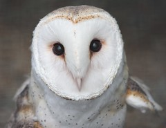On Alert (San Diego Shooter) Tags: california wallpaper bird birds sandiego owl owls desktopwallpaper barnowl chulavista chulavistanaturecenter abigfave youvsthebest barnowlface thepinnaclehof sandiegodesktopwallpaper livingcoastdiscoverycenter