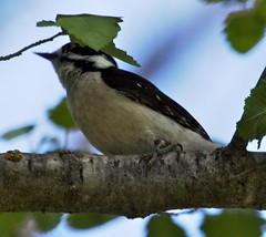 Downy Woodpecker (orencobirder) Tags: woodpeckers largebirds