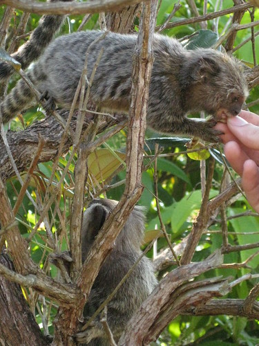 feeding monkeys, Ilha Grande, Brazil