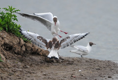 Juvenile Black-Headed Gull (Larus ridibundus) Attacking an Adult at RSPB Blacktoft Sands (Steve Greaves) Tags: bird nature water rain flying inflight adult wildlife seagull gull attack feathers young overcast aves naturalhistory rainy violence aggression immature juvenile avian seabird larusridibundus blackheadedgull plumage rspb 2xteleconverter blacktoftsands redlegs commonblackheadedgull nikond300 chroicocephalusridibundus nikonafsii400mmf28ifedlens