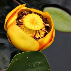 yellow! (weremakingit) Tags: plant flower yellow waterlily blossom