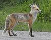 Fox Vixen - Jackson, WY (Dave Stiles) Tags: fox redfox vulpesvulpes blackfox foxcub foxden jacksonwy foxkit foxpup
