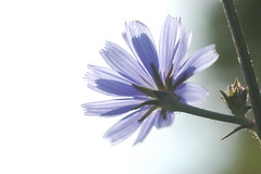 Beauty: More than skin deep? (Nature's Great) Tags: blue light macro nature dark dof perspective meditation wildflower chickory moodcreations