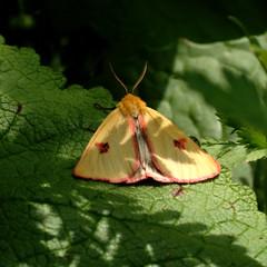 Diacrisia sannio - Clouded Buff (male) (degeerelle) Tags: sweden butterflies buff clouded julita ekebo sannio diacrisia björnspinnare rödfransad