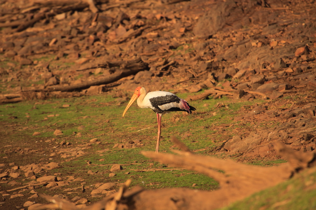 Painted Stork _MG_2717_F