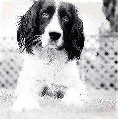 (jessthespringer) Tags: ireland bw dog white black texture 120 mamiya tlr film mediumformat kodak spaniel portra400nc springer lightroom warrenpoint thankyouverymuch c330s mamiyatlr thelittledoglaughed jessthespringer bylesbrumes