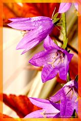 Purple wild flower (dragontoller) Tags: macro nature purple wildflowers simplyflowers