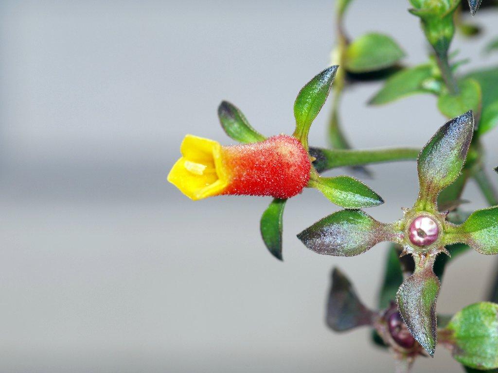 miniflower マネッチャ