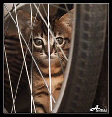 Hide and Seek.. (ZiZLoSs) Tags: cat canon eos hide usm seek aziz abdulaziz  f56l ef400mmf56lusm 450d zizloss  canoneos450d ef400mm 3aziz almanie abdulazizalmanie httpzizlosscom