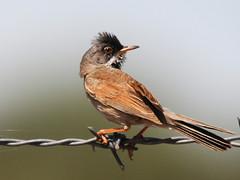 Toutinegra-tomilheira //Spectacled Warbler (http://jvverde.birdsby.me/v2/) Tags: birds ave aves toutinegra nature natureza spectacledwarbler sylviaconspicillata castelomendo toutinegratomilheira avifauna portugal bird currucaconspicillata aoarlivre pssaros pssaro bir selvagem natural oiseau vogel     pjaro   uccello   uccelloaves emliberdade onwild nanatureza wildlife lintu  madr