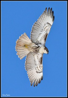 Red-tailed Hawk Juvenile (1)
