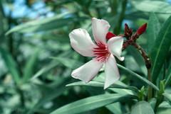 Flower (qatari star) Tags: flower green beauty garden pretty sony doha qatar