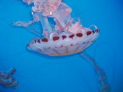 P2090340f (Tina A Thompson) Tags: california fish longbeach marinebiology aquariums marinelife aquariumofthepacific aquaticlife oceanlife longbeachattractions