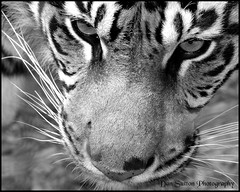 Thank you!!!! (Dan Sutton) Tags: blackandwhite thankyou tiger 8x10 torontozoo mailmandan impressedbeauty february25th